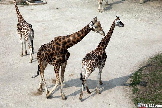 Prague Zoo: жирафы