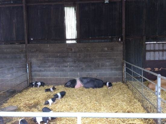 Hall Hill Farm: piglets