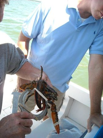 Downeast Coastal Cruises: Measuring a lobster after pulling up a trap
