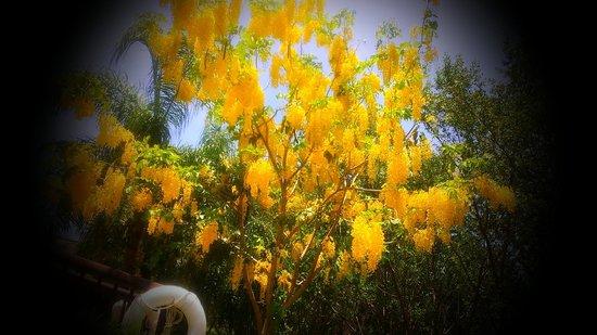 Valentin Imperial Riviera Maya: Golden Swim up Pool flowering tree - smelled amazing!