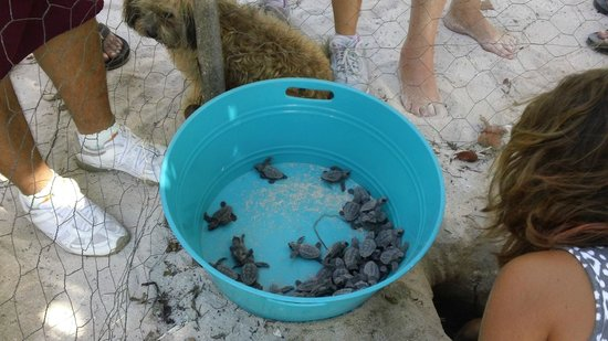 Tranquility Bay Resort: Turtles hatching
