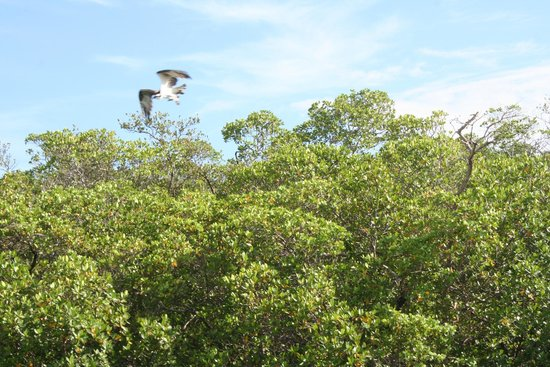 Good Time Charters and Tours : Osprey taking flight