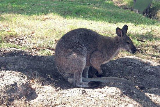 Marina d`Erba Rossa: kangourou