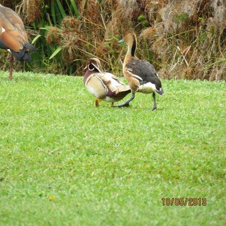 Tsitsikamma Village Inn: Ducks in the back yard across the driveway