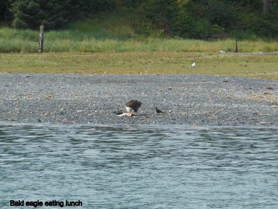 Juneau Whale Watch: Eagle eating lunch