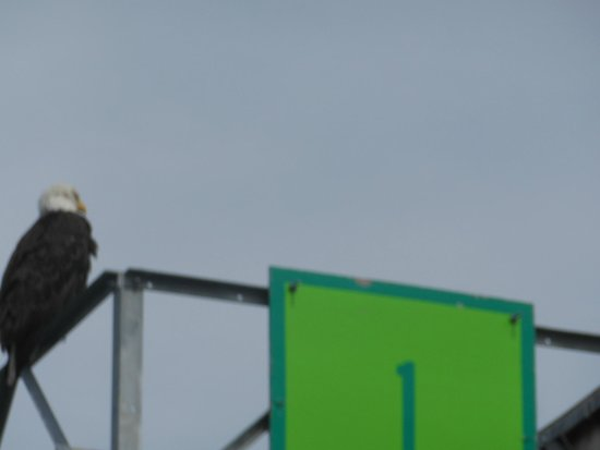 Juneau Whale Watch: Bald Eagle