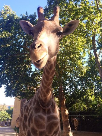 Lisbon Zoo: Girafe