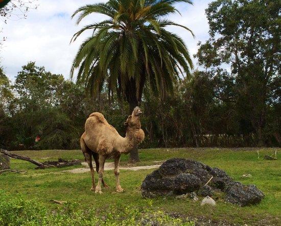 Zoo Miami: The beautiful camel :-)