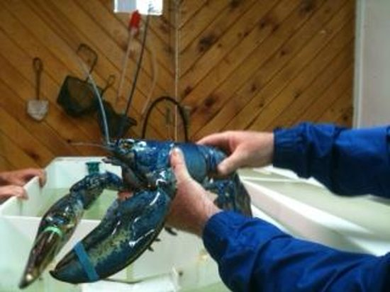 Northumberland Fisheries Museum: Blue lobster
