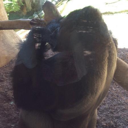 Bioparc Fuengirola: collés contre le gorille!