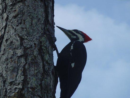 Corkscrew Swamp Sanctuary: Pileated Woodpecker