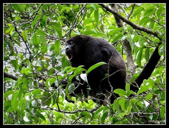 The Congo Trail Canopy Tour: Howler Monkey