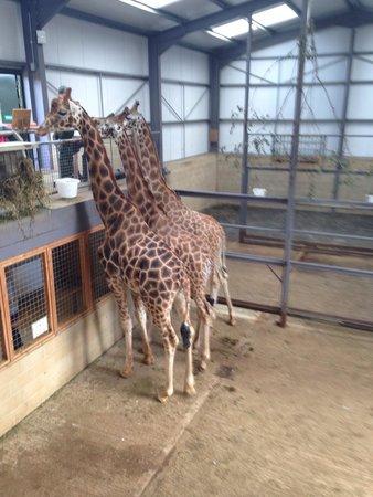 Cotswold Wildlife Park and Gardens: Giraffe feeding at Cotswold wildlife park