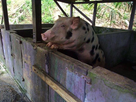 Tan Tan Tours: Beer drinking pig!