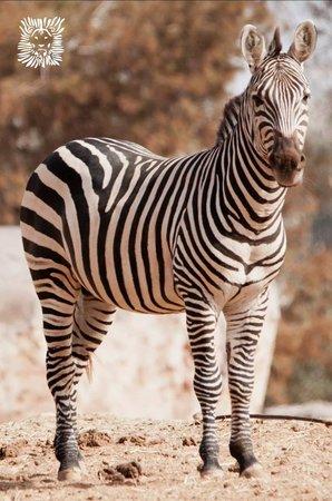 Jardin Zoologique National de Rabat : Zebra