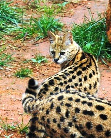Jardin Zoologique National de Rabat : Cute wildcate