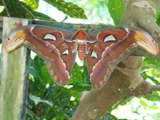 Key West Butterfly and Nature Conservatory : Beautiful Moth