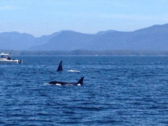 Prince Rupert Adventure Tours: Orcas near Lucy Island