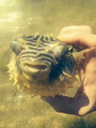 Cape Charles Beach: Puffer Fish