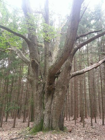 Evergreen Trails Campground : awesome tree