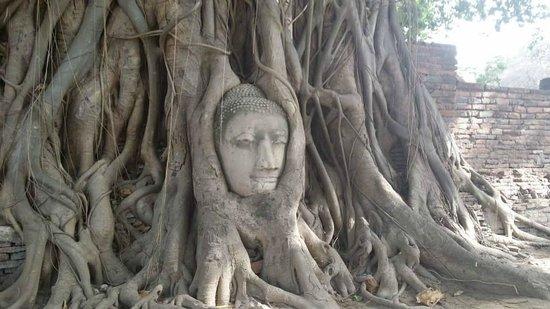 Wat Mahathat : 樹中頭