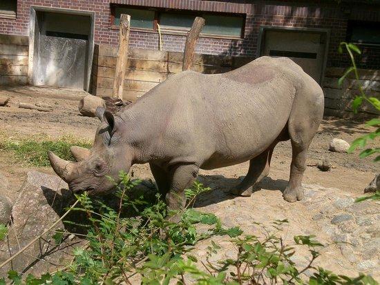 Berlin Zoological Garden : il rinoceronte al pasto