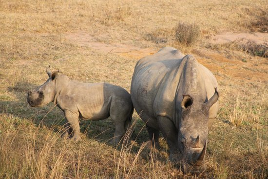 Wild Ivory Eco lodge: Rhino with her youngster