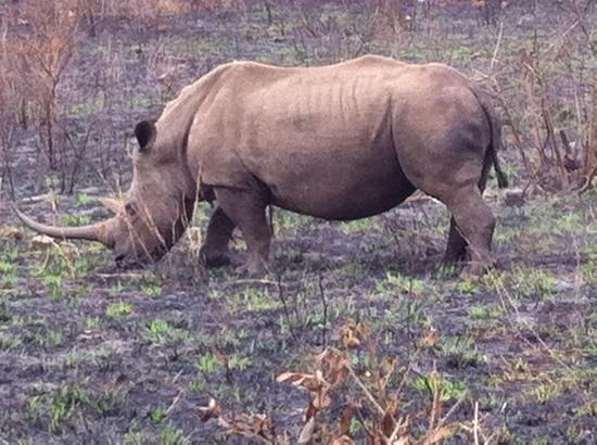 Hluhluwe Umfolozi Hilltop Camp: White rhino, Hluhluwe.