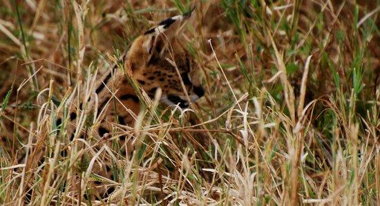 Warrior Trails Day Tour: Serval Cat