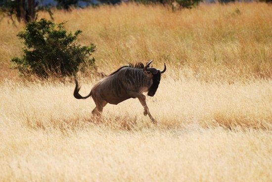 Warrior Trails Day Tour: Wildebeest on the run