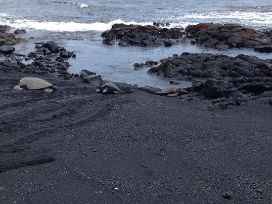 Punaluu Black Sand Beach : Turtles climbing up on to the black sand - August 2014