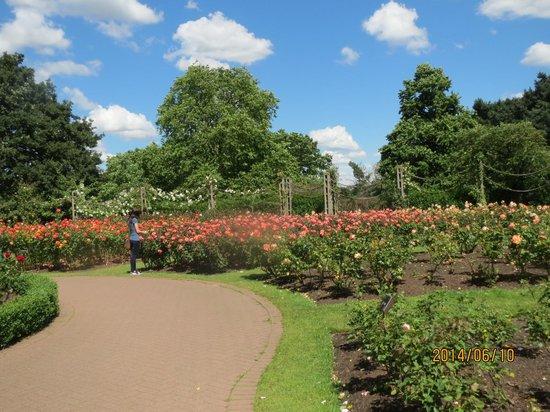 Regent's Park: 遊歩道沿いのバラ