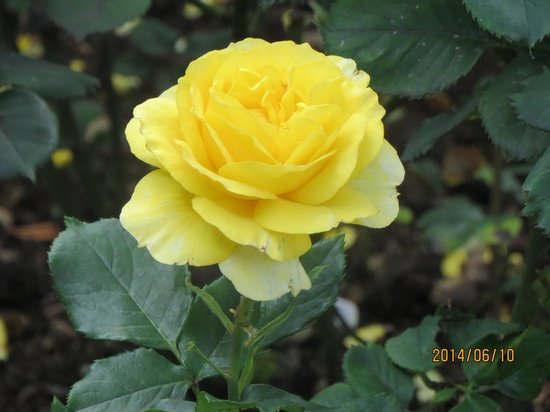 Regent's Park: 大好きなバラの写真