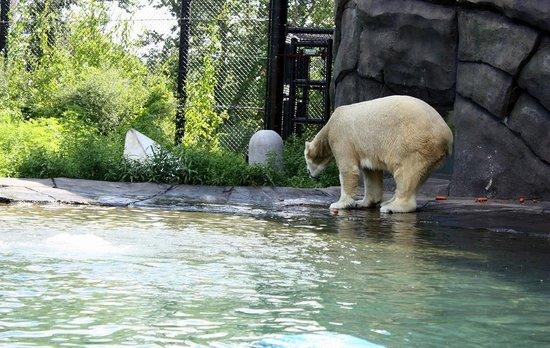 Como Park Zoo & Conservatory: Orso bianco