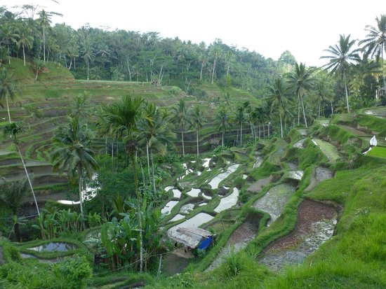 Tegalalang Rice Terrace: ライステラス