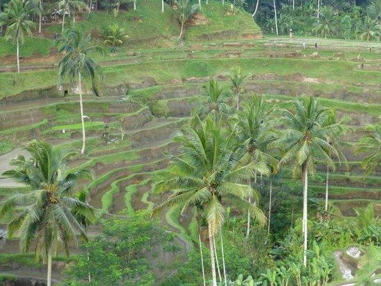 Tegalalang Rice Terrace: ライステラス