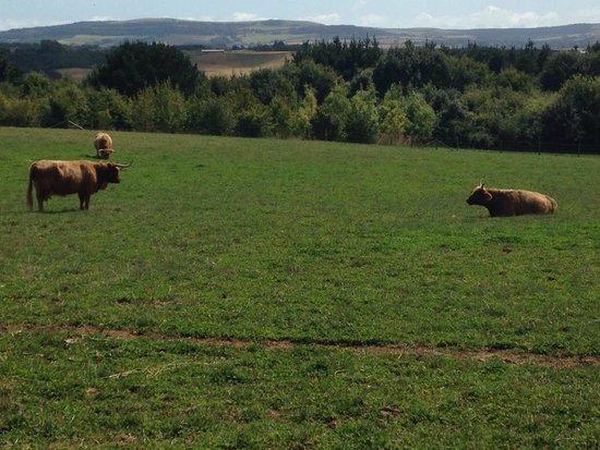 The Garlic Farm: Highland cattle