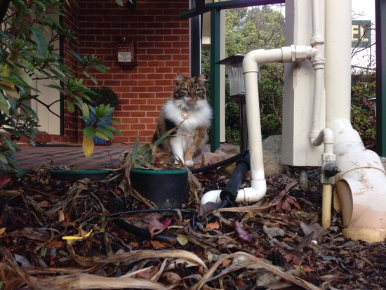 Beechworth Carriage Motor Inn: The resident cat