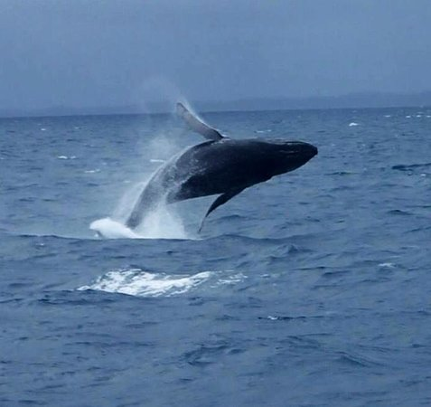 Freedom Whale Watch: Breaching whale
