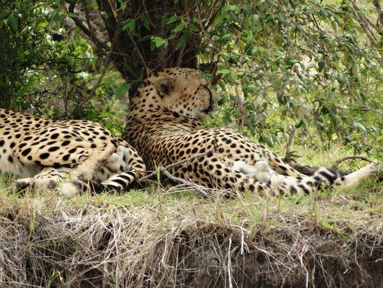 Oloshaiki Camp: Mutter und Kind Leopard