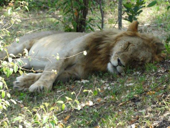 Oloshaiki Camp : Löwe, bei der Aufsicht über 2 Löwinen und 7 Baby´s