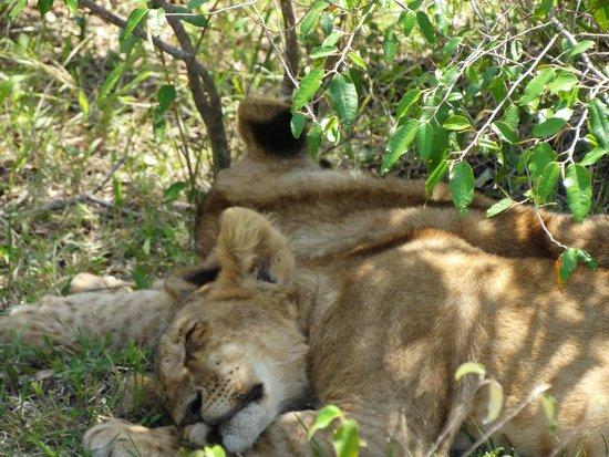 Oloshaiki Camp : 2 müde Löwenbaby`s, Rücken an Rücken