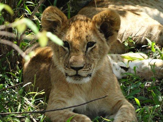 Oloshaiki Camp : Ich bin zwar müde aber auch neugierig. Löwenbaby