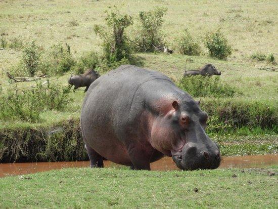 Oloshaiki Camp : Hippo und 2 Wartenschweine im Hintergrund