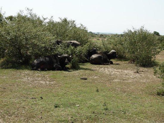 Oloshaiki Camp : Büffelgruppe