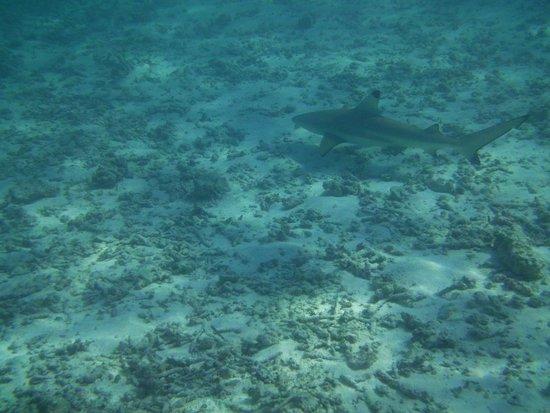 Meeru Island Resort & Spa: Tubarão.