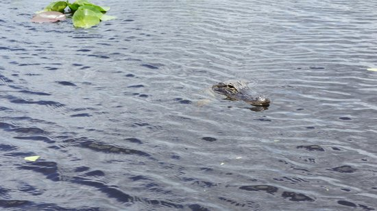 Everglades Holiday Park: Alligator!