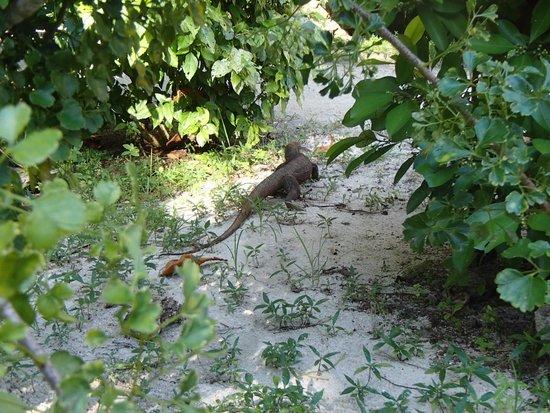 Perhentian Paradise Resort: lizard