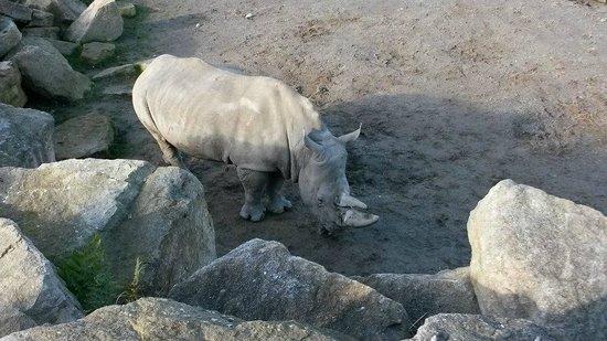 Dublin Zoo : Rhino