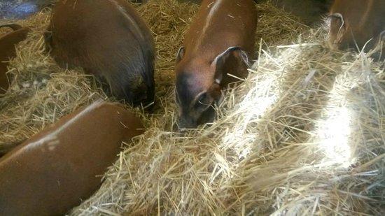 Dublin Zoo: Cochons roux